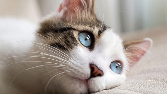 típicas enfermedades de gatos
